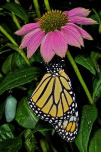 bl-mike_powell_monarch-butterfly-and-chrysalis