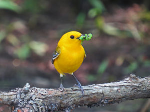 prothonotary-warbler-with-caterpillars